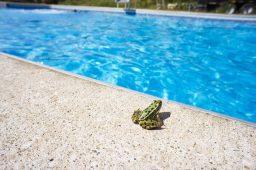Por quê sapos gostam de piscinas