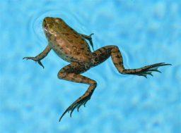 Problemas com sapos na piscina