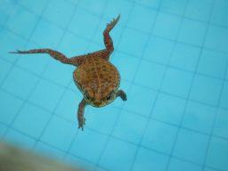 Sapo na piscina
